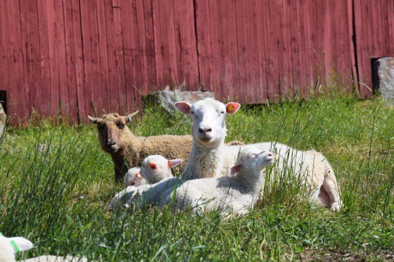 Tolvilan kartanon lammastila Copyright