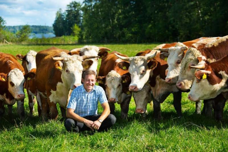 Mies laitumella lehmien kanssa